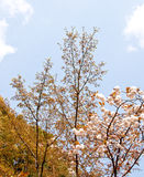 Sakura branch Royalty Free Stock Photography