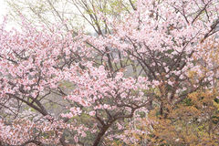 Sakura branch Royalty Free Stock Images
