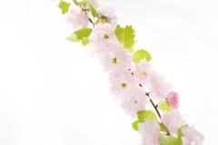 Sakura branch isolatet on white background Stock Image