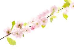 Sakura branch isolatet on white background Stock Photo