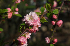 Sakura branch. Branch with pink cherry blossom allocated on a dark background Stock Photography
