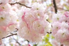 Sakura. Branch of white cherry blossom flower Yae-zakura ; Double-layer Cherry Blossom Royalty Free Stock Photos