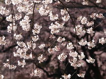 Sakura Branches. Cherry blossom is an omen of good fortune and is also an emblem of love, affection and represents spring in Japan Royalty Free Stock Images
