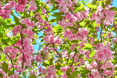 Sakura branches blossoms in a flower garden, beautiful spring landscape at bright day Stock Photography