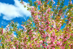Sakura branches blossoms in a flower garden on sky background, beautiful spring landscape at bright day Stock Image