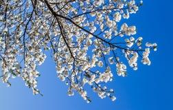 Sakura branco fotos de stock