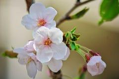 Sakura branco bonito foto de stock