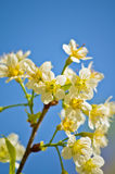 Sakura branco em Tailândia Imagem de Stock Royalty Free