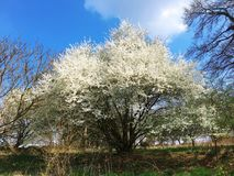 Sakura branco, flor bonita, flor da mola, Luxemburgo, Europa foto de stock