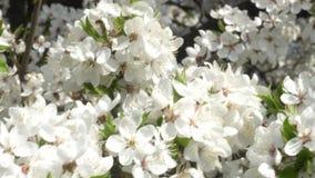 Sakura branco floresce o close-up no vento vídeos de arquivo