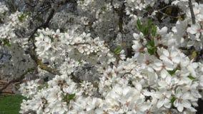 Sakura branco floresce o close-up no vento filme