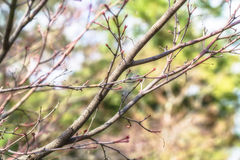 Sakura bud before blooming in spring Royalty Free Stock Photos