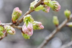 Sakura bud on a branch Stock Photos