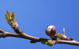 Sakura buds, close-up Stock Image