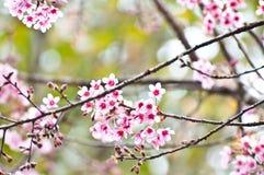 Sakura Bueatiful με το πράσινο υπόβαθρο Στοκ Φωτογραφίες