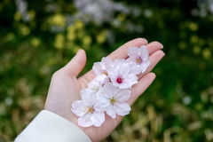 Sakura caduto su una mano del ` s della ragazza al parco di Kumagaya Arakawa Ryokuchi in Kumagaya, Saitama, Giappone Immagine Stock