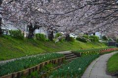 sakura canal Stock Photo