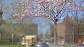 Sakura and cars. stock video footage