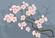 Sakura, cerezo Foto de archivo libre de regalías