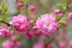Sakura (cerezo japonés) en tiempo del flor. Fotografía de archivo