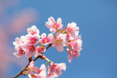Sakura che fiorisce nel sole e nel cielo blu Immagine Stock Libera da Diritti