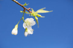Sakura che fiorisce nel sole e nel cielo blu Immagine Stock