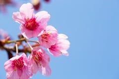 Sakura che fiorisce nel sole e nel cielo blu, Chiang Mai, Thailan Fotografia Stock