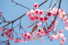 Sakura che fiorisce nel sole e nel cielo blu, Chiang Mai, Thailan Immagini Stock