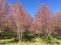 Sakura Cherry-Blüten Stockfotos