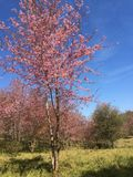 Sakura Cherry-Blüten Stockfoto