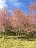 Sakura Cherry-Blüten Lizenzfreie Stockfotografie