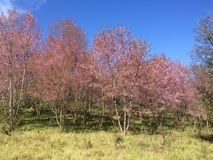 Sakura Cherry-Blüten Lizenzfreies Stockbild