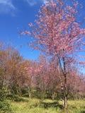 Sakura Cherry-Blüten Lizenzfreie Stockfotos