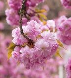 Sakura Cherry blomning Royaltyfri Fotografi