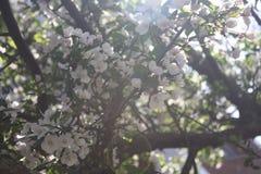 Sakura Cherry blomningar Arkivbilder