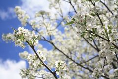 Sakura Cherry blomningar Royaltyfria Bilder
