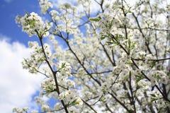 Sakura Cherry blomningar Royaltyfri Foto