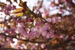 Sakura Cherry blomningar Royaltyfri Fotografi