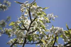 Sakura Cherry blomningar Fotografering för Bildbyråer