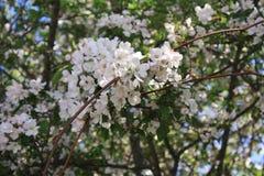 Sakura Cherry blomningar Arkivfoto