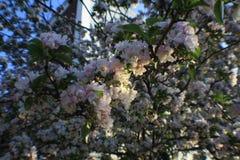 Sakura Cherry blomningar Royaltyfria Foton