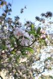 Sakura Cherry blomningar Arkivbild