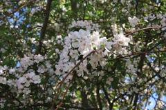 Sakura Cherry blomningar Royaltyfri Bild