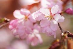 Sakura cherry in bloom Stock Image