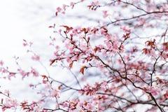 Sakura cherry in bloom Stock Images