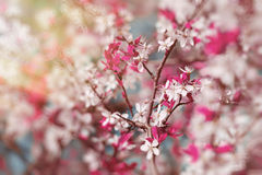 Sakura Cherry blooms, early spring with bokeh Stock Photography
