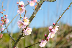 Sakura (Cherry blossom). Close-up Sakura (Cherry blossom) in blue sky background Royalty Free Stock Images