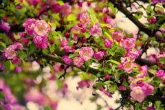 Sakura Cherry Blossom Fotos de archivo
