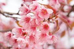 Sakura Cherry Blossom arkivfoton