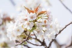 Sakura Cherry Blossom Imágenes de archivo libres de regalías